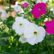 Close-up flowers of white petunias — Stock Photo