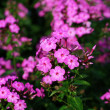 Beautiful purple phlox in the garden — Stockfoto
