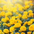 Meadow with orange marigolds tagetes  — Stock Photo