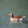 Geese on Lake Kournas, Crete, Greece  — Stock Photo