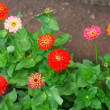 Stock Photo: Zinniflowers on natural background