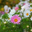 Stock Photo: Aster flowers background