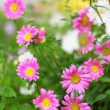 Aster flowers background — Stock Photo