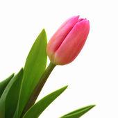 Růžové tulipány na bílém pozadí — Stock fotografie