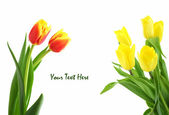 Red and yellow tulips isolated on white — ストック写真