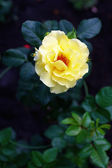 Beautiful Yellow Rose In Garden — Stock Photo