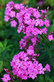 Beautiful purple phlox in the garden — Stock Photo