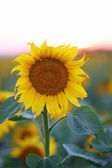 Sunset over Sunflower field — Stock fotografie