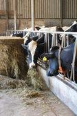 Animal cow farm — Stock Photo