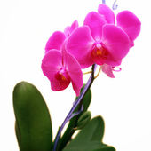 Beautiful pink orchid white background  — Stock Photo