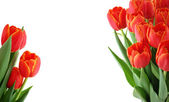 Red tulips isolated on white  — Stock Photo