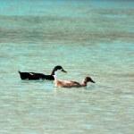 Ducks swimming on the Lake Kournas, Crete (Greece) — Stock Photo #42414615