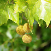 Plane (Platanus) tree, sycamore leaves and fruits — Stock Photo