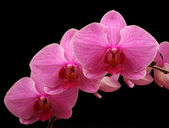 Beautiful pink orchid black background  — Stock Photo