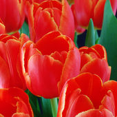Bouquet of red tulips on black background  — Stock Photo
