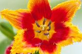 Beautiful tulip — Stock Photo