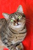 Gato atigrado rojo — Foto de Stock