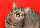 Tabby cat on red — Stock Photo