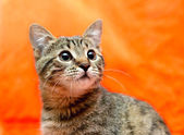 Closer look of Frightened tabby Cat — Stock Photo