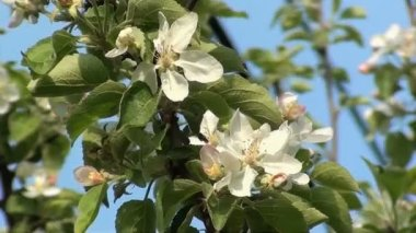 Apple Flowers on the spring wind — Стоковое видео