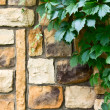 Ivy on the stone wall — Stock Photo