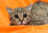 Funny Cat with big eyes — Stock Photo
