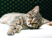 Tabby cat relax — Stock Photo