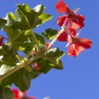 Pelargonium on a blue sky background — Stock Photo