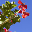 Pelargonium on a blue sky background - Stock Photo