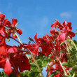 Pelargonium on a blue sky background — Stock Video