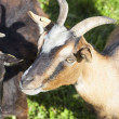 Goats graze on the lawn — Foto Stock