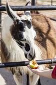 Lama essen einen apfel aus der hand — Stockfoto