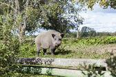 Vildsvin i landet huset trädgård — Stockfoto