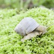 Snail crawling on the forest moss — Stock Photo