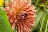 Dark pink dahlia flower on grass background — Stock Photo