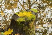 Autumn leaves fallen on the stump near the river — Stock Photo