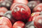 Świeżo zebranych organicznych żurawiny czerwony jesienią — Zdjęcie stockowe