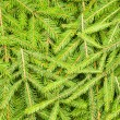 Background of spruce branches — Stock Photo #14877539