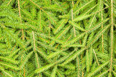 Background of spruce branches — Stock Photo