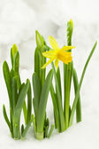 Narcissus with one open flower in the snow — Stock Photo