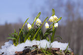 Group of Snowdrops in the snow on the forest background — Stock Photo