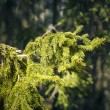 Sunlit spruce tree branch in the backwoods — Stock Photo