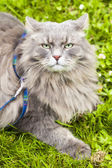 Big gray cat with long hair ready to attack — Stock Photo