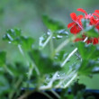 Stock Video: Pelargonium in rain