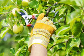 Hand in glove with gardener shears near apple tree — Stock Photo