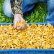 Man near the plastic box with chanterelles — Stock Photo