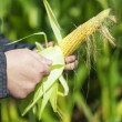 Farmer on the corn field with ear of corn in hand — Stock Photo #30225649
