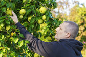 Man picking apples in garden — Stock Photo