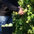 Man picking apples in garden episode 2 — Stock Video