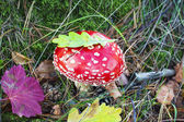Fly agaric at forest in moss — Stockfoto